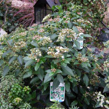 Mittelmeer-Schneeball Blütenzauber